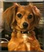 Miley the Chihuahua, Dachshund mix