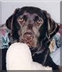 Harley the Labrador Retriever