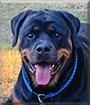 Fifi the Rottweiler
