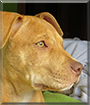 Coca the American Pit Bull Terrier