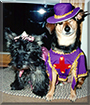 Abby the Scottish Terrier and Jack the Beagle mix