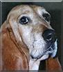 Bula the Basset Hound