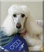 Bella the Standard Poodle