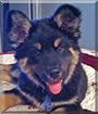 Bella Bear the Bernese Mountain Dog/German Shepherd mix