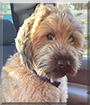 Cooper the Wheaten Terrier