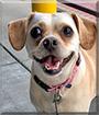 Maggie the Dachshund, Chihuahua, Pekinese mix
