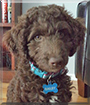 Bailey the Australian Labradoodle