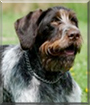 Jonny the German Wirehaired Pointer