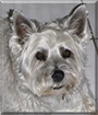 Smokey the Cairn Terrier