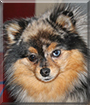 Mara Jade the Pomeranian