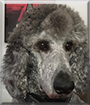 Johnny the Standard Poodle