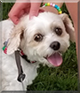 Zoe the Cavalier King Charles Spaniel, Bichon Frise mix