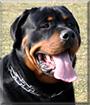 Shirley the Rottweiler