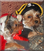 Romeo and Juliet the Yorkshire Terriers
