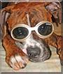 Bailey the Boxer, Pitbull mix