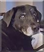 Athena the Labrador Retriever