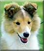Ylva the Shetland Sheepdog