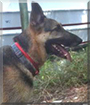 Chance the German Shepherd Dog