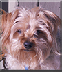 Mickey the Yorkshire Terrier, Poodle mix