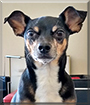 Maxwell the Miniature Pinscher/Chihuahua mix