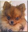 Toby the Pomeranian