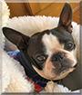 Xena the Boston Terrier