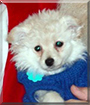 Kia the Japanese Spitz, Toy Poodle mix