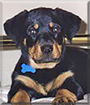 Sacha the Rottweiler