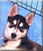 Rosey the Siberian Husky