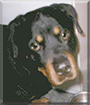 Como the Rottweiler