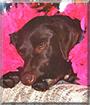 Kyra the Labrador Retriever