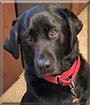 Bopper the Labrador Retriever