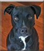Valentino the Staffordshire Terrier mix