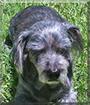 Bob the Cocker Spaniel, Poodle mix