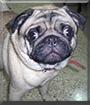 Caeser the Pug