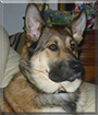 Rico the German Shepherd, Rottweiler, Husky mix
