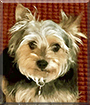 Max the Yorkshire Terrier