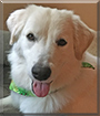 Mabel the Great Pyrenees