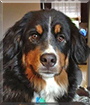 Stella the Bernese Mountain Dog