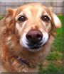 Zelda the Golden Retriever, Rottweiler mix