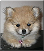 Bubbles the Pomeranian