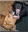 Clyde the Hound, Maddie the Skipperke