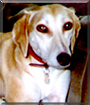 Yasmin the Saluki, Greyhound cross