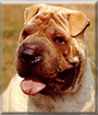 Ziggy the Chinese Shar Pei