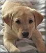 Bo the Labrador Retriever mix