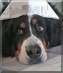 Kira the Bernese Mountaindog