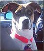 Tess the Beagle, Labrador Retriever mix