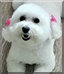 Puppy the Maltese, Poodle mix