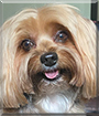 Teddy the Yorkshire Terrier