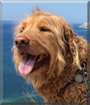 d'Artagnan the Golden Retriever, Standard Poodle mix